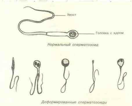 skolko-dney-obnovlyaetsya-sperma